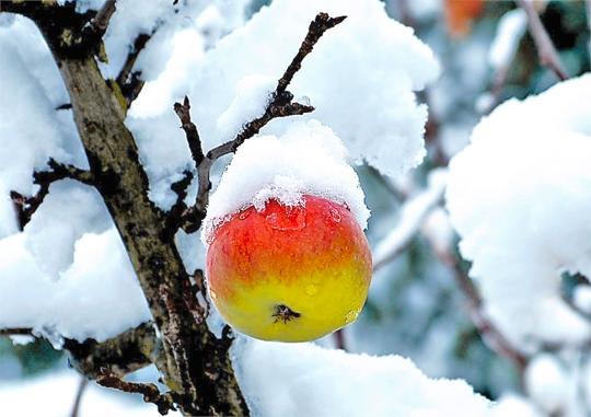 Winterapfel mit einer Mütze aus weißem Schnee_EBV
